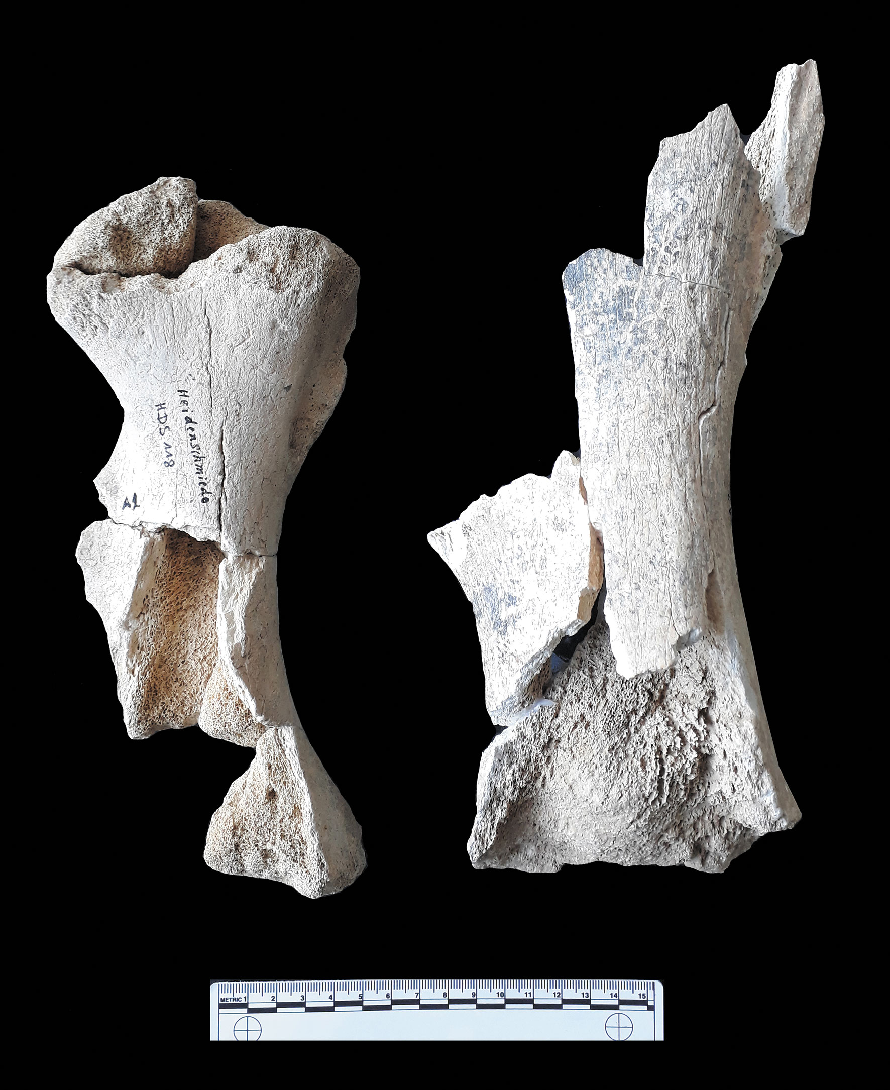 left femora of woolly rhino